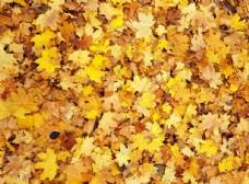 金黄枫叶背景