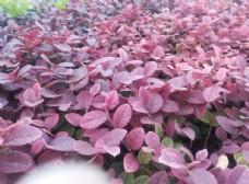 小树叶   红色背景
