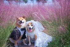 两只柴犬的幸福生活