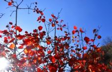 秋天的红叶逆光