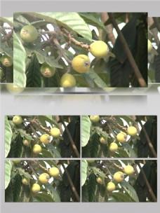 长在树上还未熟的琵琶视频音效