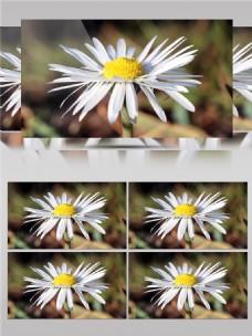 光彩夺目的菊花视频音效