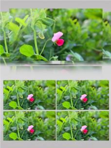 唯美粉色豌豆花视频音效