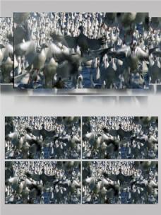 一大群大雁视频音效