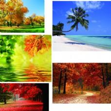 枫叶 海滩