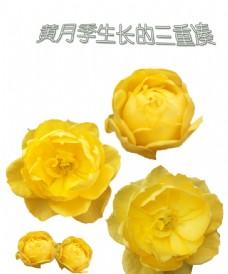 黃月季三度花朵成長圖