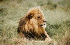 凝视的雄狮