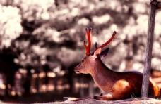凝视远方的麋鹿