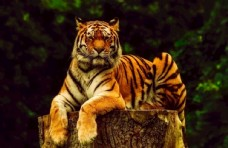 凝视远方的老虎